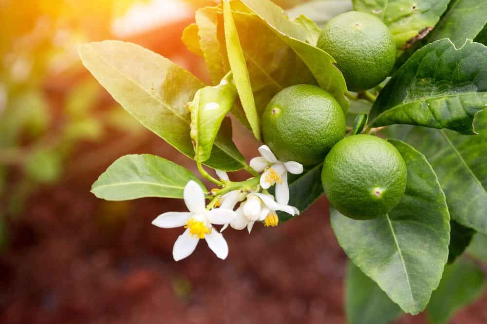 Green lime tree