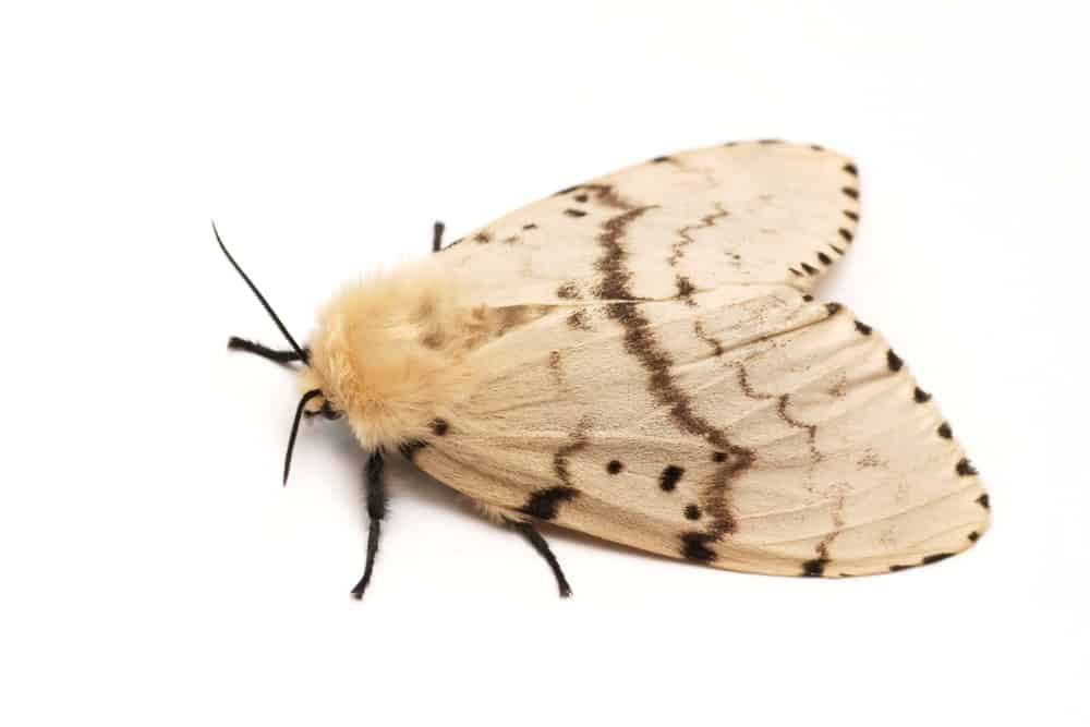 A Female Adult Gypsy Moth