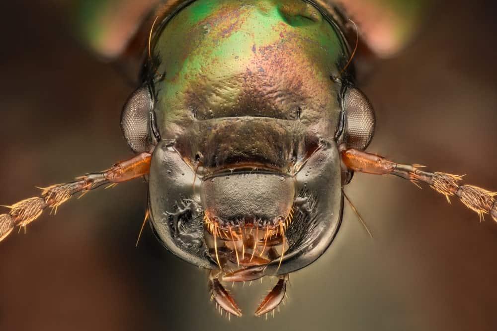 Exotic Harpalus