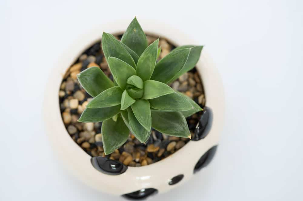 Haworthia retusa succulent example