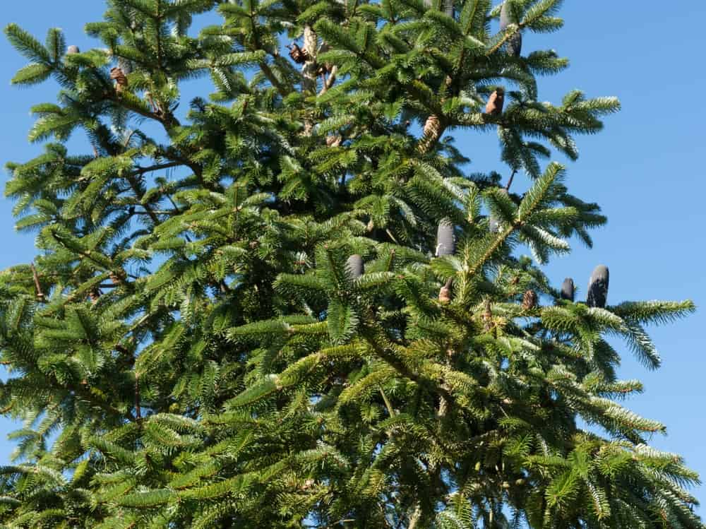 Himalayan fir tree
