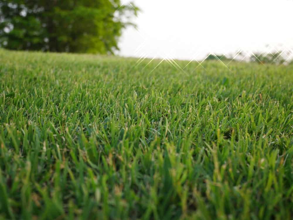 Vegetative Bermuda Grass
