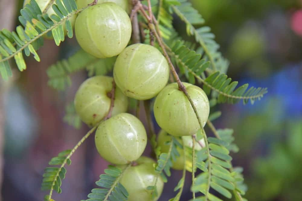 Indian gooseberry tree