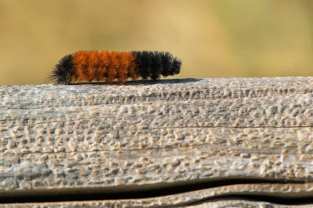 a fluffy moth caterpillar crawling on a fence rail