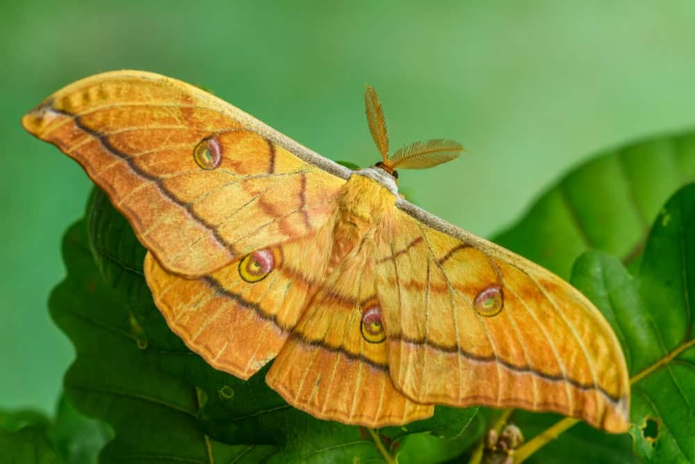 Yellowish-orange Moth in the Woodland