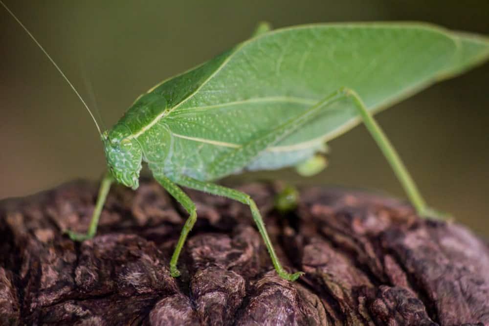 Katydid Green Leaf Bug