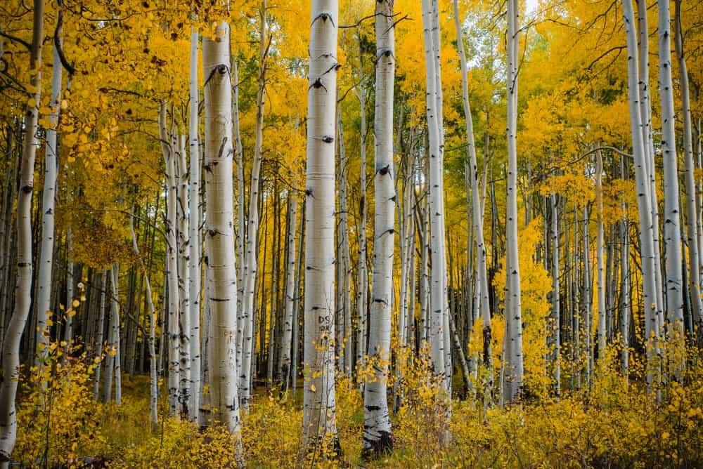 Korean Aspen trees in an Aspen grove in Colorado, USA