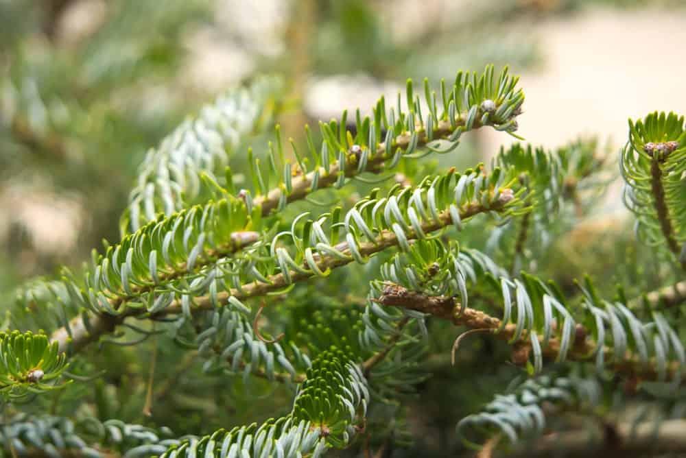 Korean fir tree