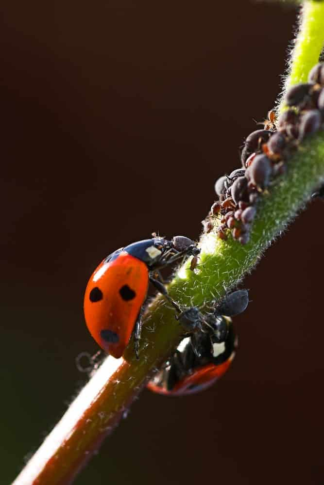 Ladybug feeding on aphids from an aphid colony.