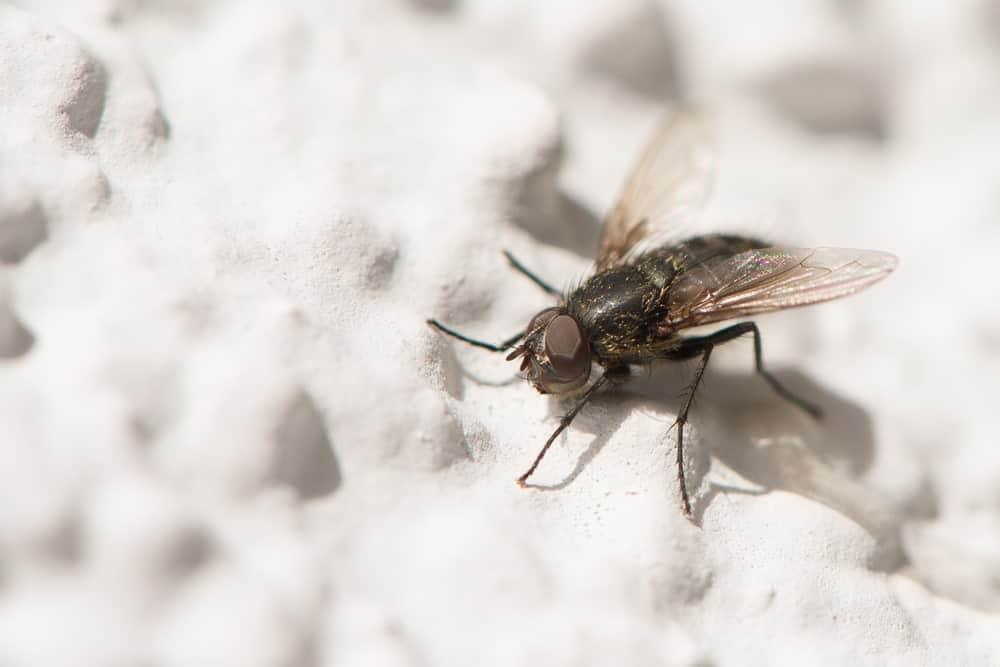 A lesser housefly