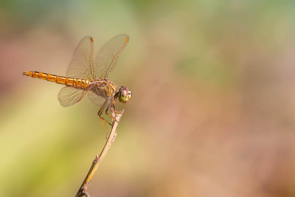 Libellulidae – dragonfly