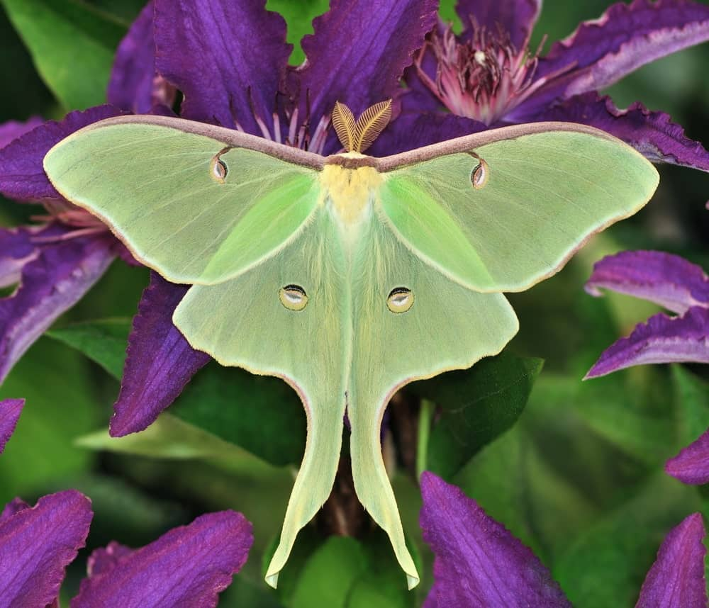 Green Colored Moth on Purple Flowers