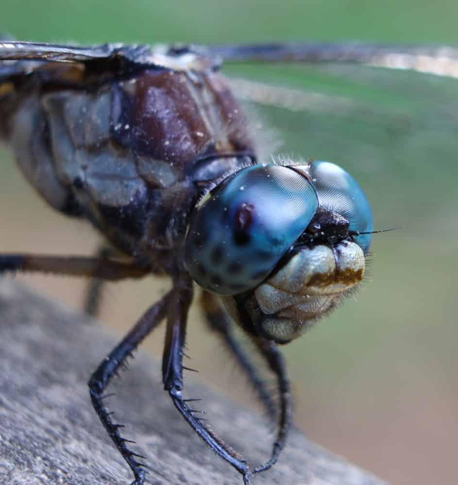 Macromilidae - Dragonfly