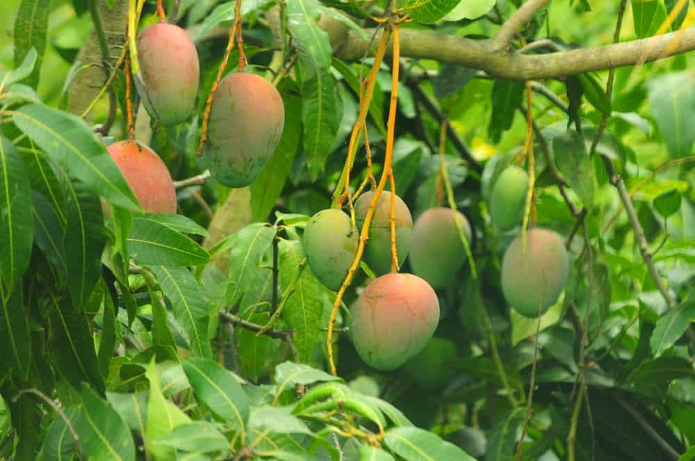 Almost-ripe mangoes hanging from a mango tree.