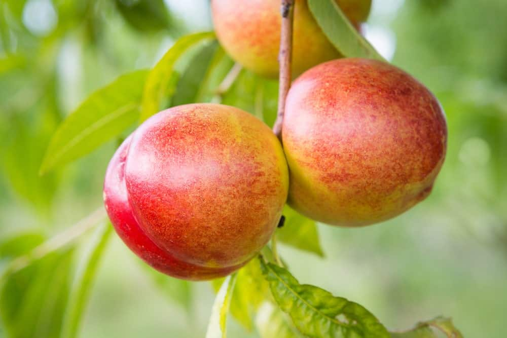 Nectarines hanging from a tree