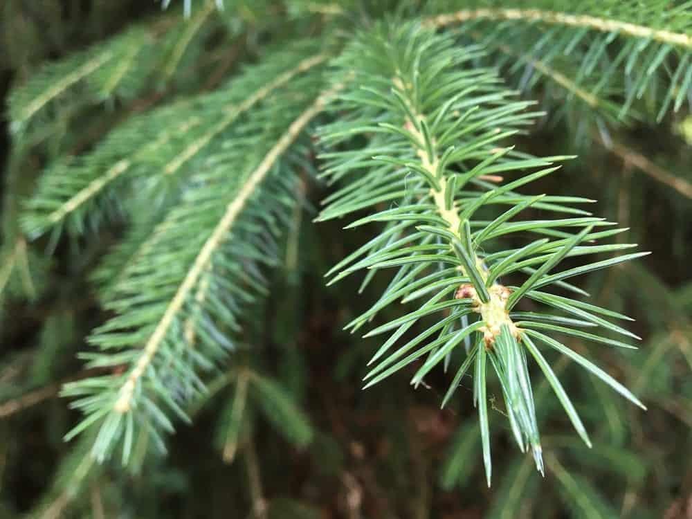 Nordmann fir tree