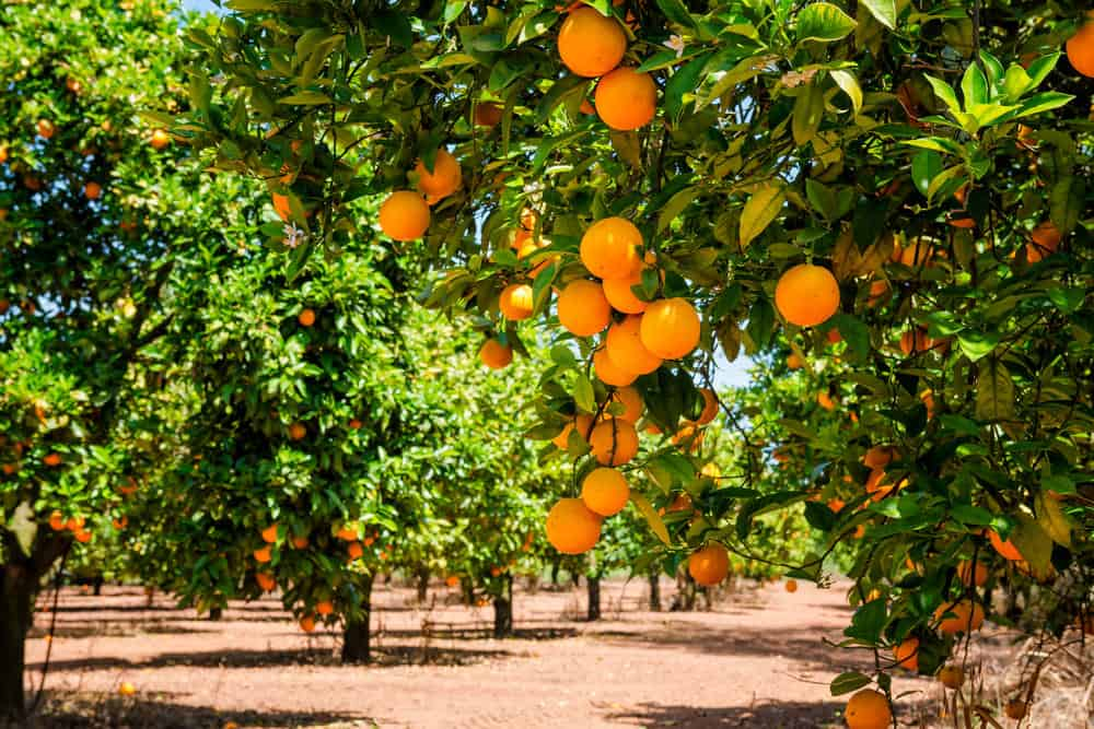 Orange trees in orange grove