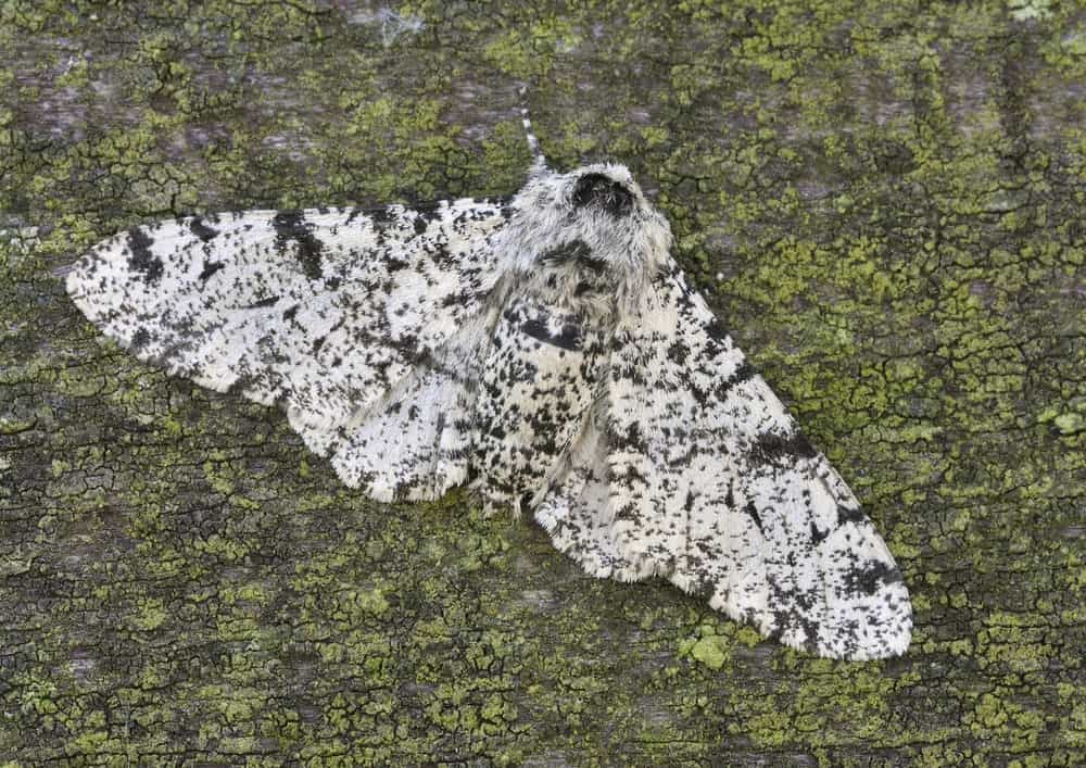 White Moth with Black Pattern
