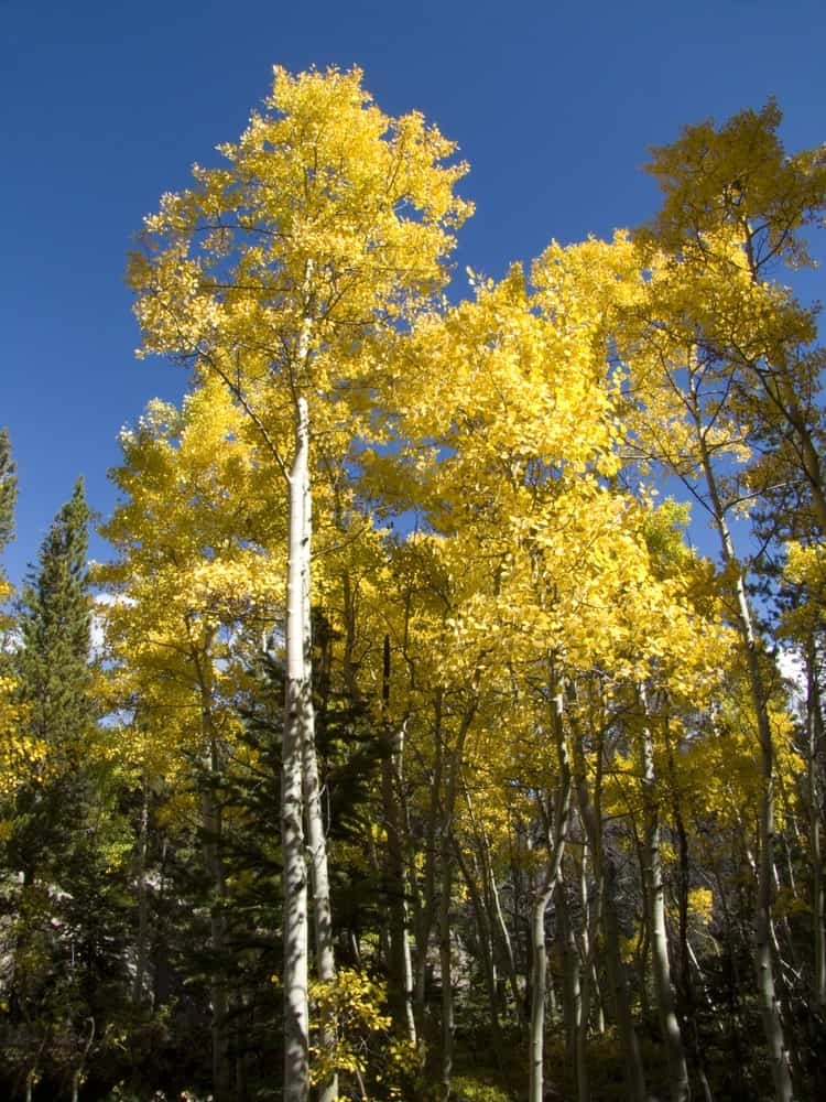 Golden aspens on a hiking trail