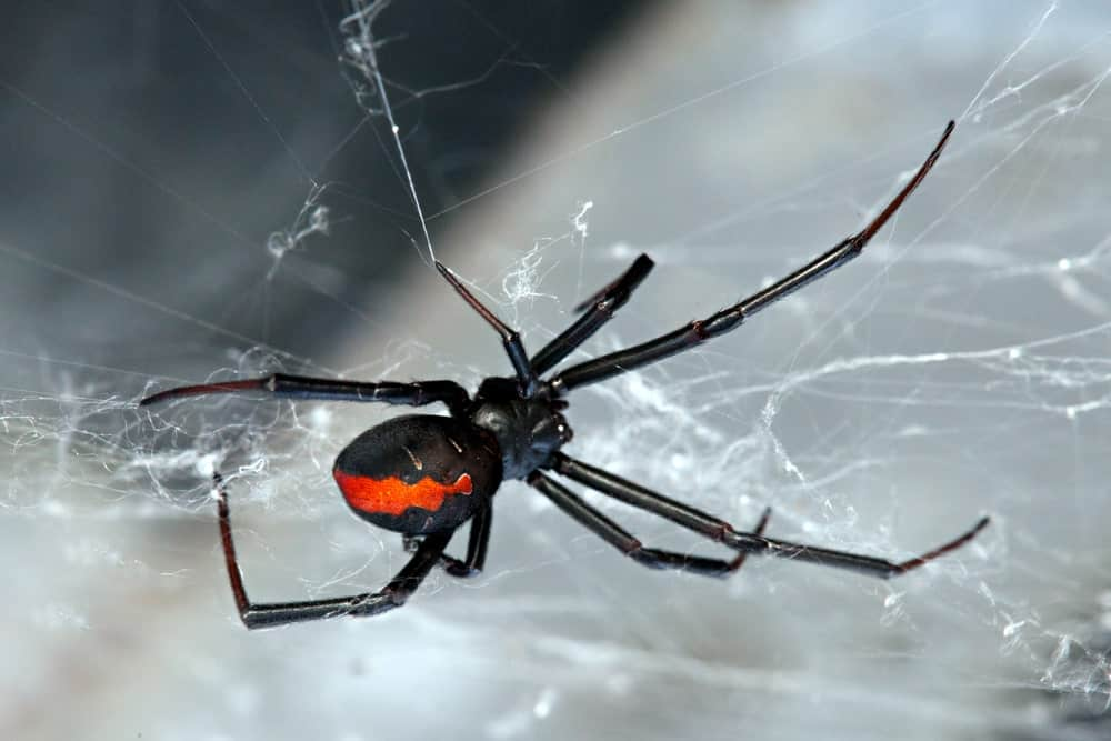Red-Back Spider and Its Web