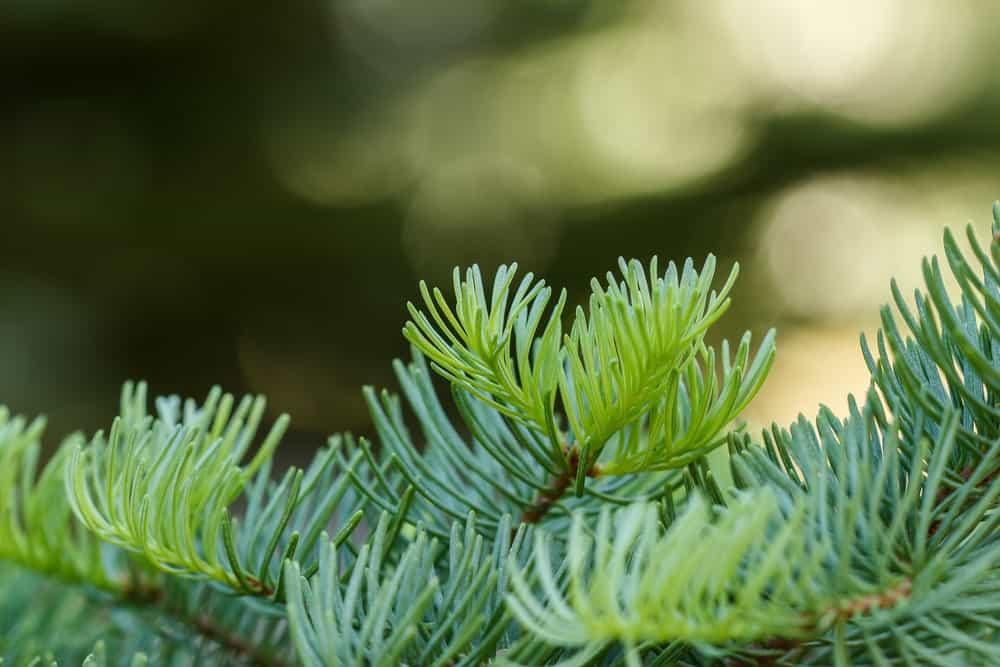 Red fir tree