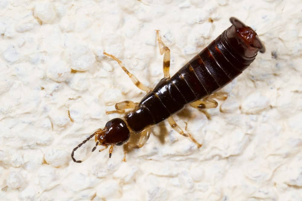 Earwig with ringed-legs