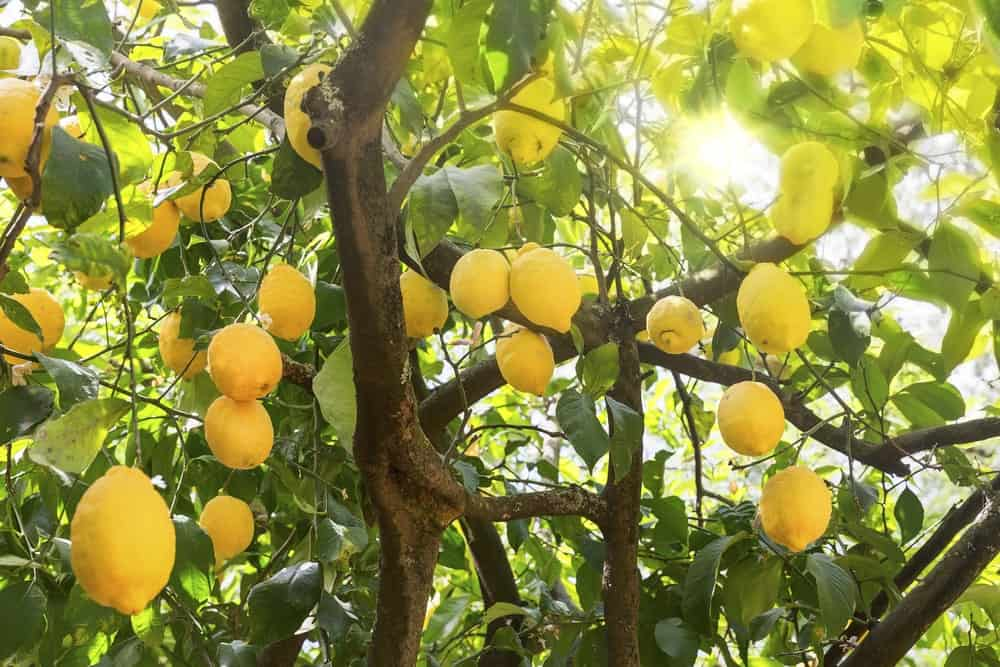 Lemon tree with fresh fruit