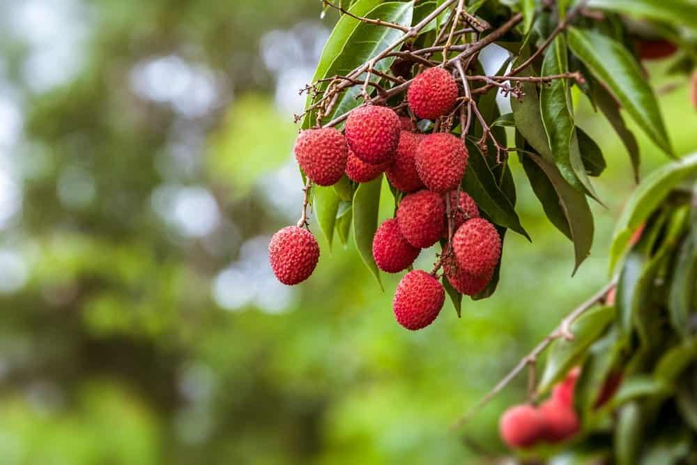 e lychee tree