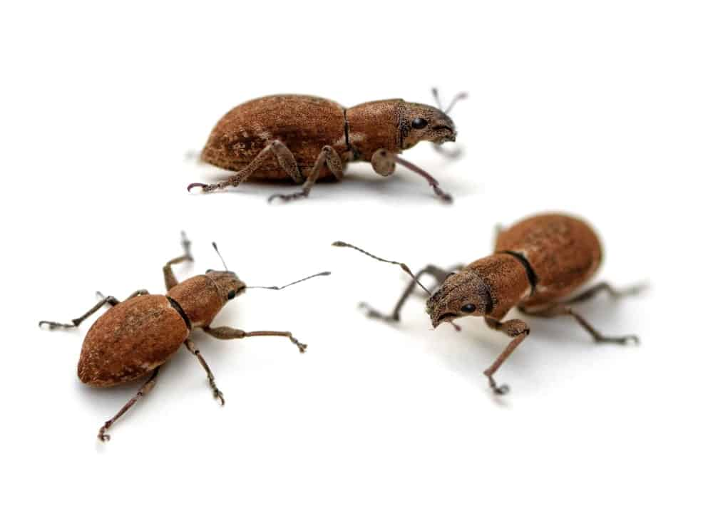 Three Rose Beetles