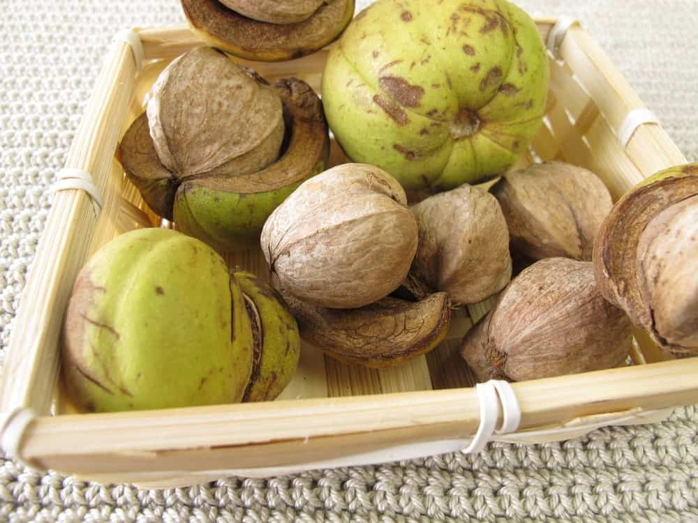 Shellbark hickory nuts in a basket