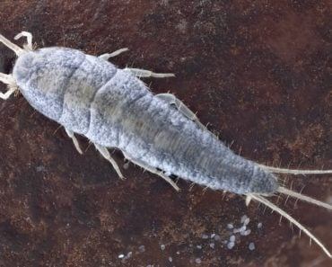 Zoomed in picture of a silverfish in its normal environment.