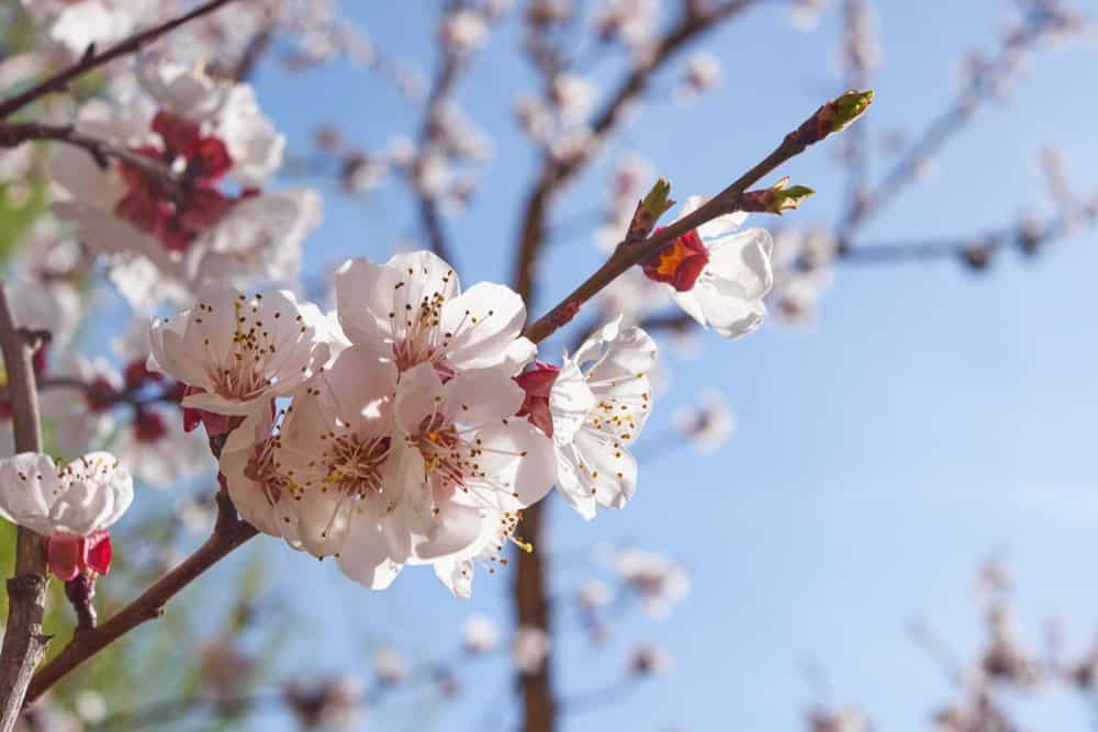 White and pink apricot blossoms.