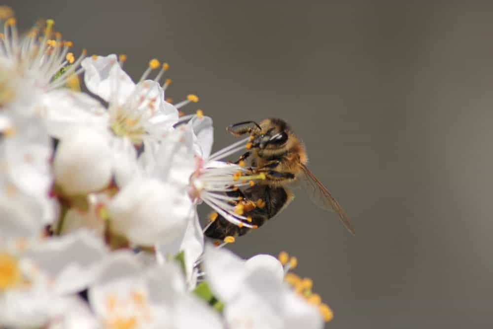 A bee collecting nectar.
