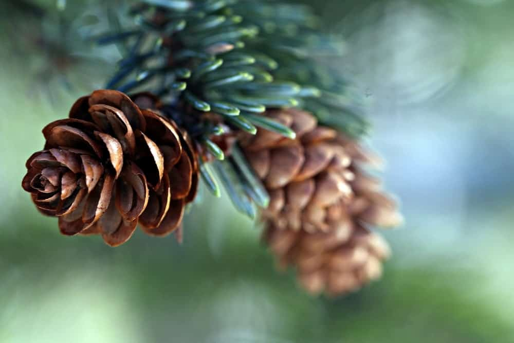 Subalpine fir tree