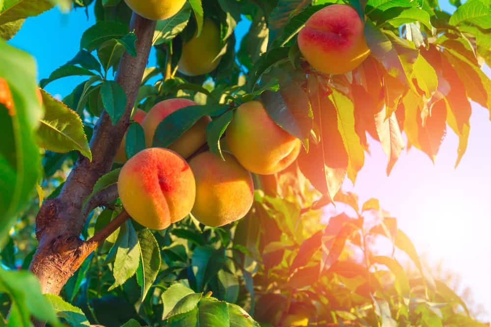 Succulent peaches on a tree