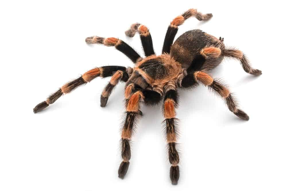 Spider- Tarantula