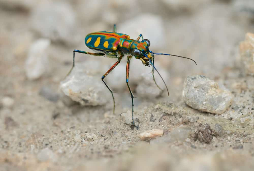 Tiger Beetle on a ground