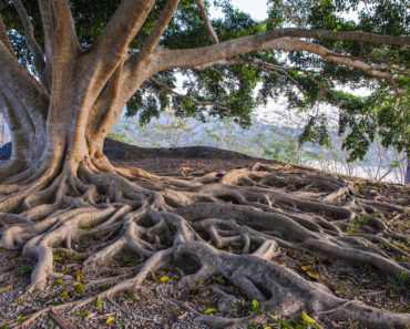 Tree with huge root system