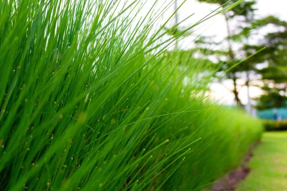 Closeup of the blades of Bermuda grass