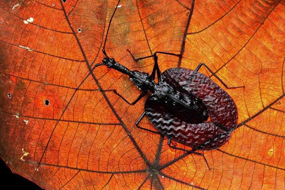 A Banjo Beetle