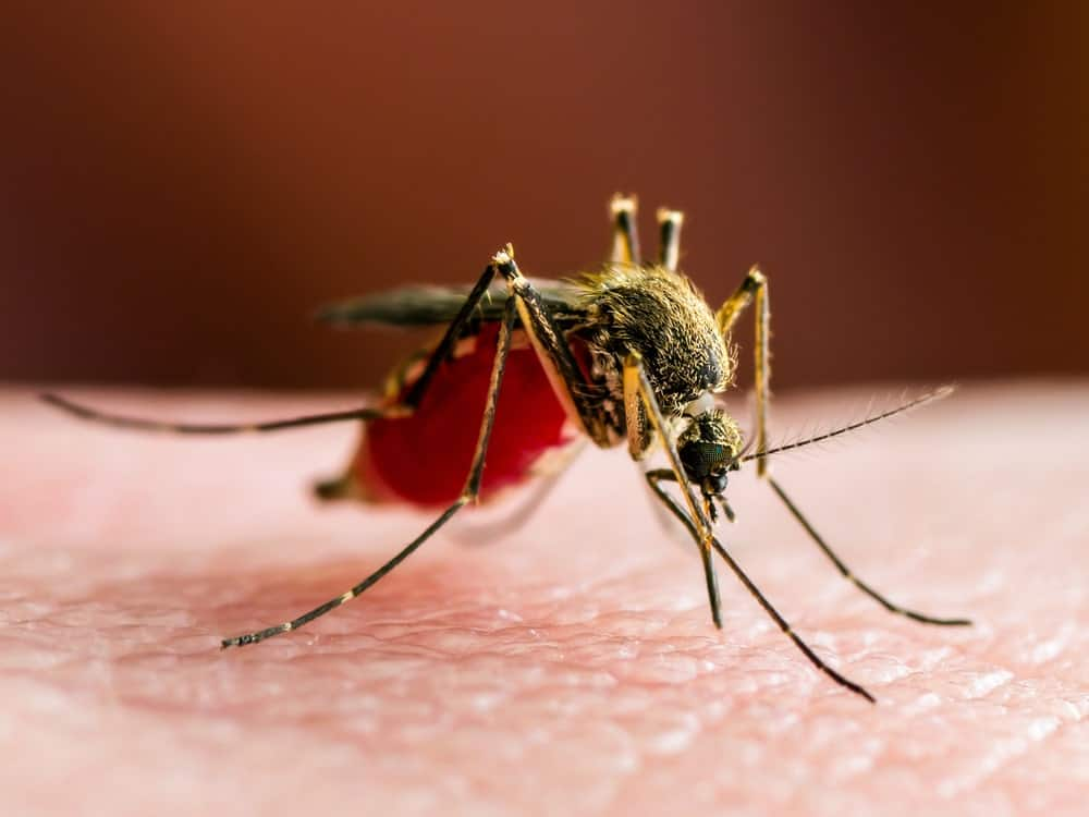 A Mosquito on Red Background
