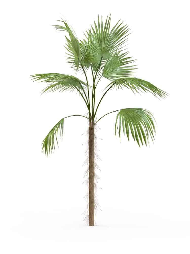 Zombie Palm