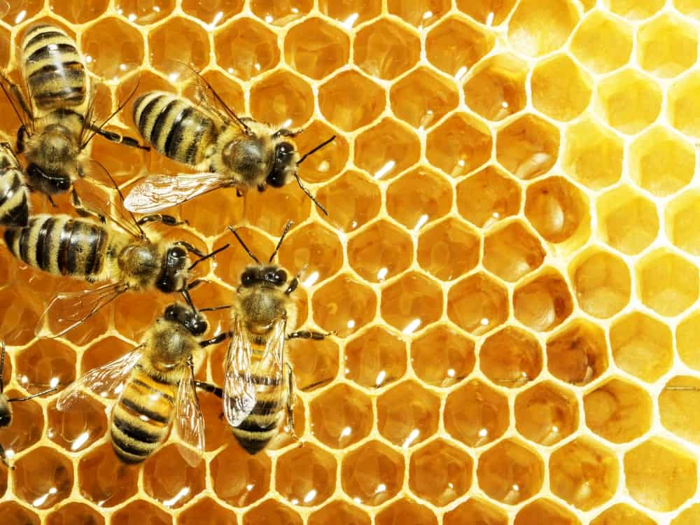 Working bees on a honeycell.