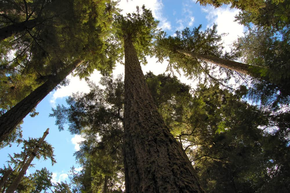 Towering Douglas fir trees growing into the sky with massive canopies
