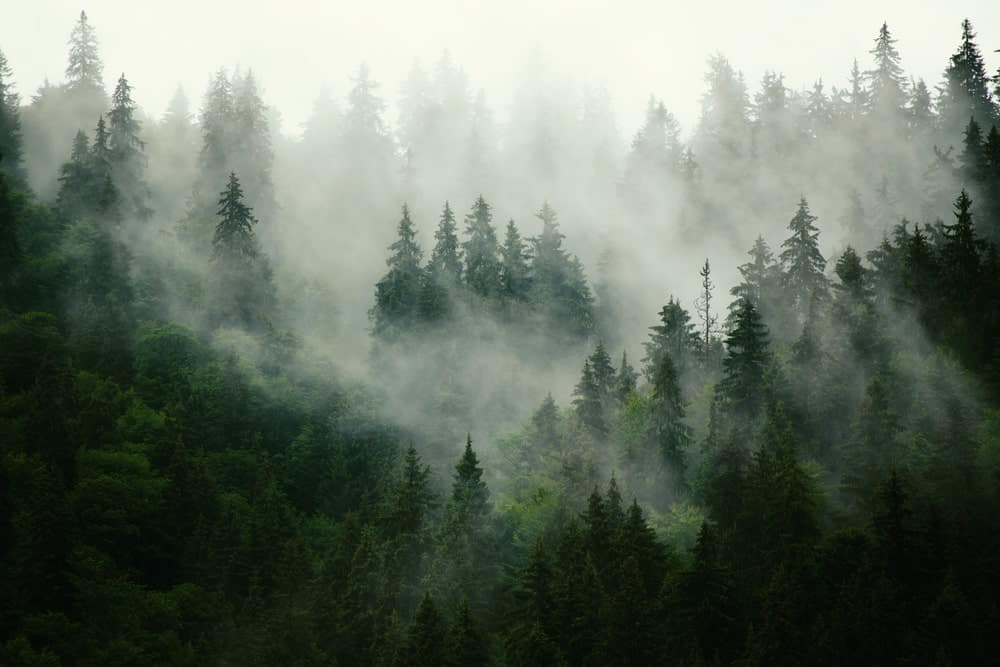 Misty forest with fir trees.