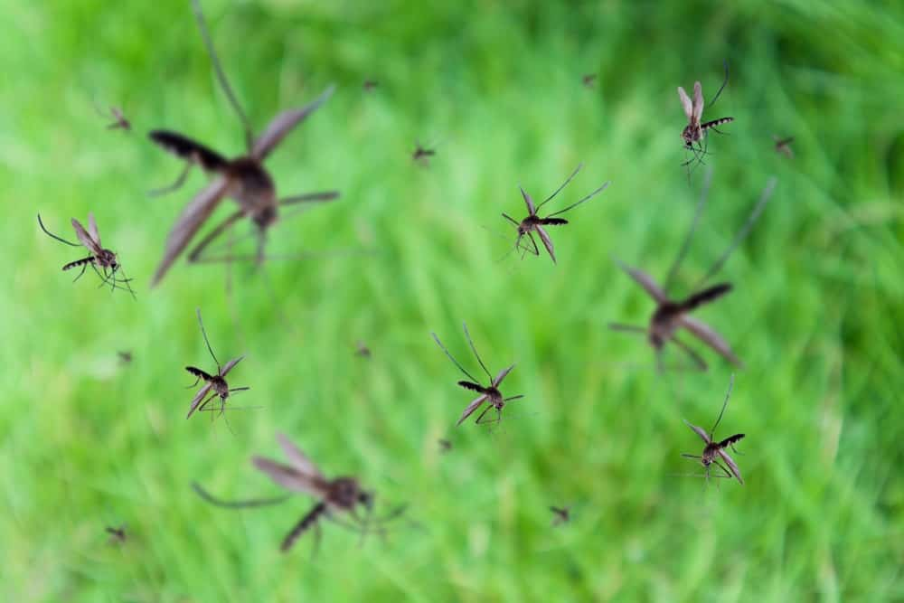 Mosquitoes flying over green grass.
