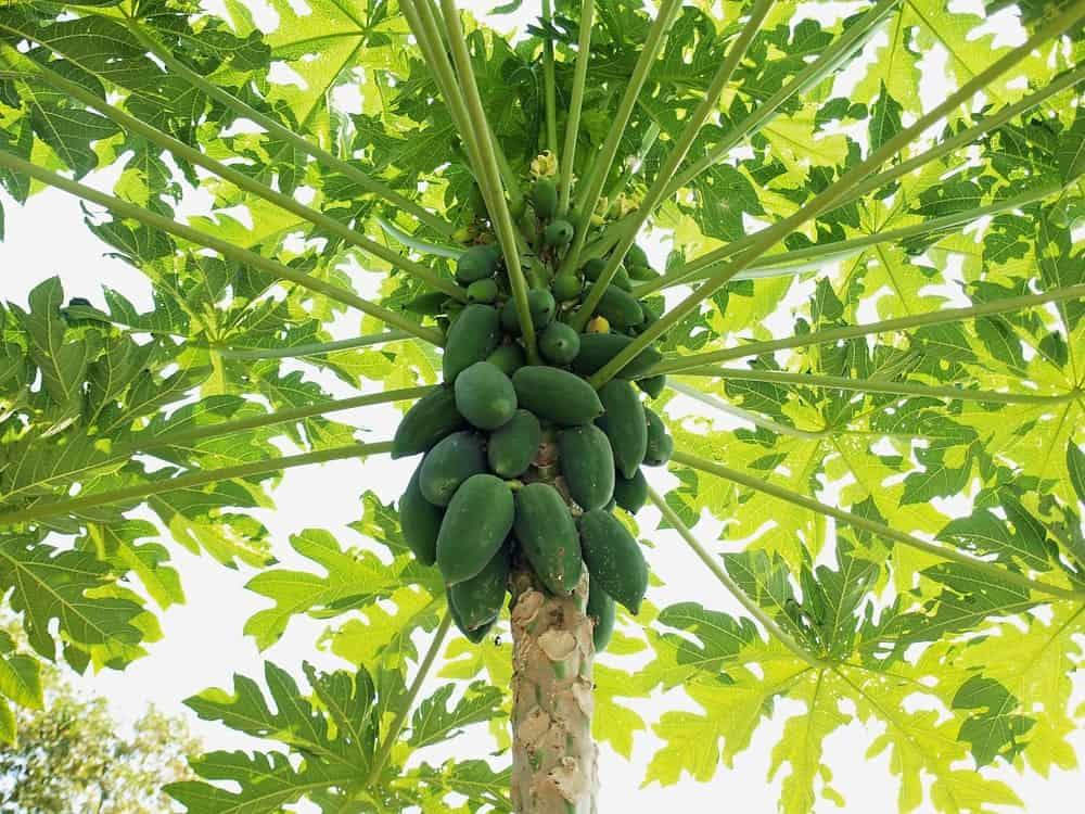 Papaya tree with plenty of fruits.