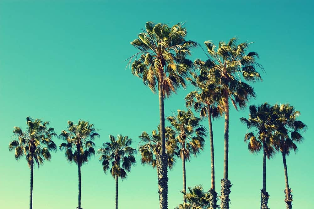 A close look at the tall palm trees of the Santa Monica Beach.