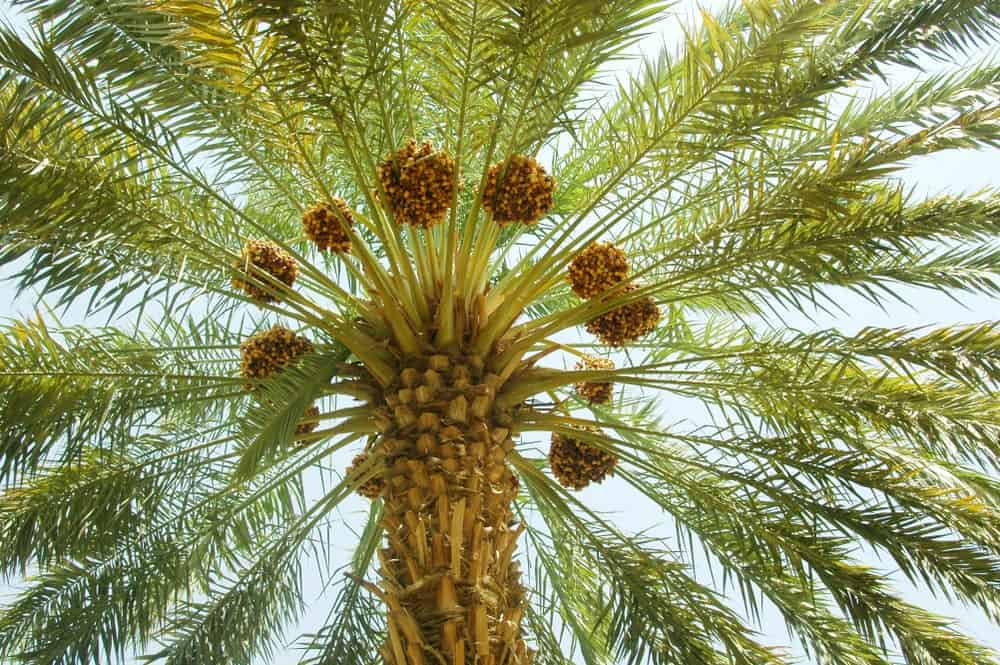 A close look at a date palm tree with fruits.