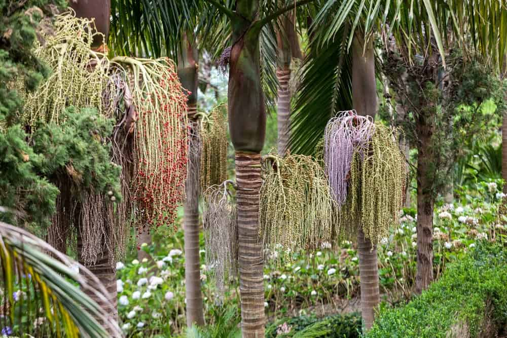 A collection of mature King Bangalow Palm Trees.